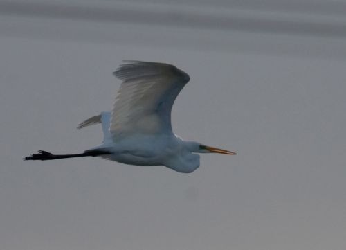 Graet White Egret