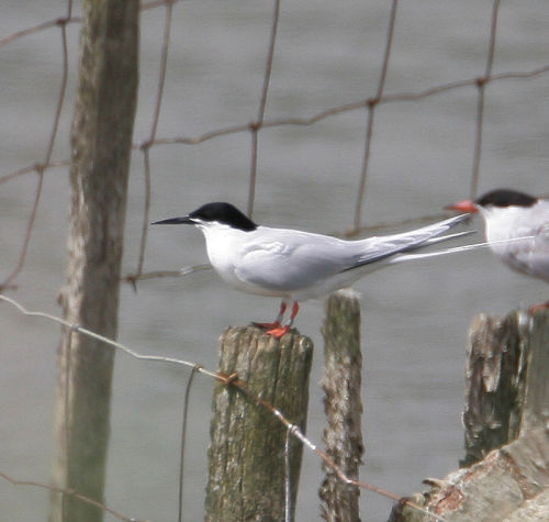 Roseate Tern<br>