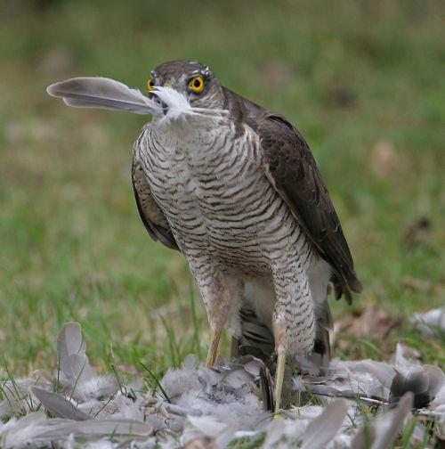 Sparrowhark