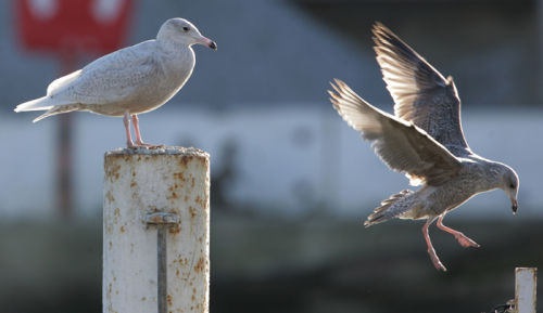 Glaucous Gull with first winter Herring Gull
