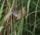 Reed Warbler feeding chicks