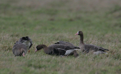 White- fronted Geese