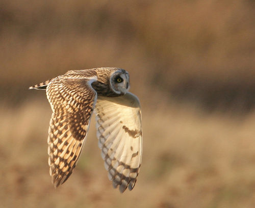 Short eared-Owl