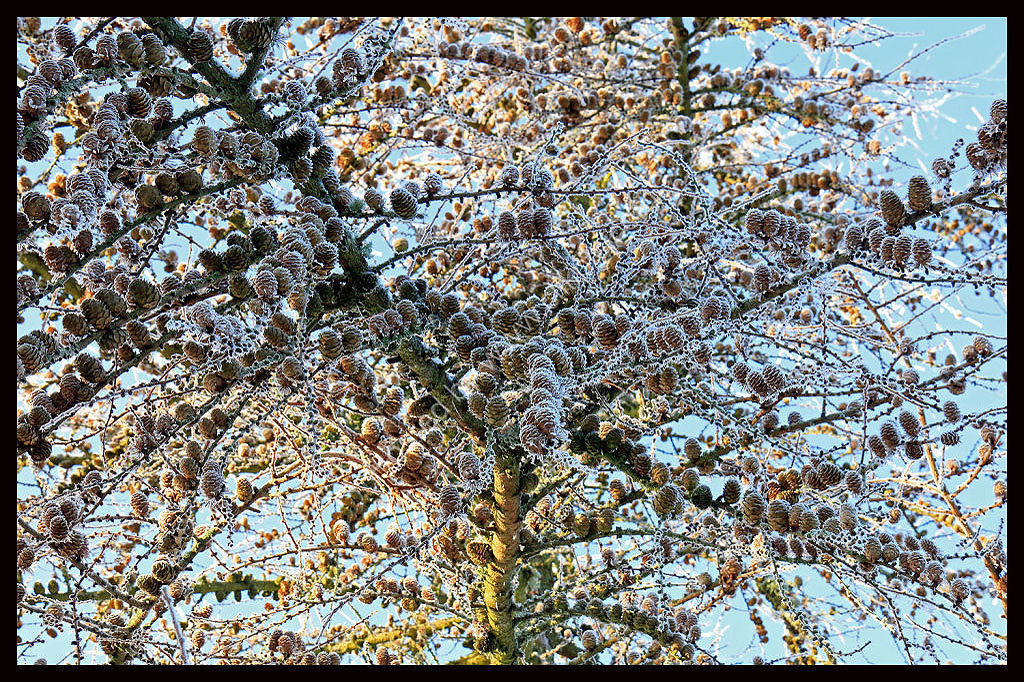 Frosty Tree