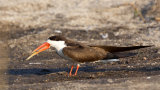 AFRICAN SKIMMER WITH CATCH