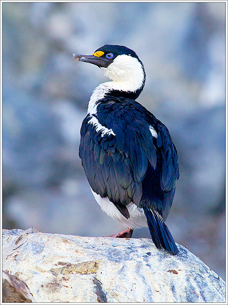 Antarctic Shag on Lookout