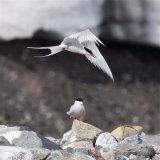 Arctic Tern Pair