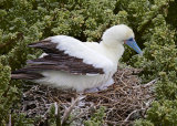RED-FOOTED BOOBY ON NEST