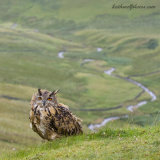 Eagle Owl on Cumbrian Fells