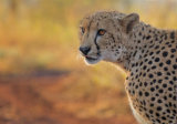 Early Morning Cheetah