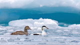Eiders In The Ice
