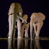Elephant Calf Sharing