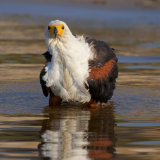 FISH EAGLE BATHING