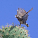 COMMON CACTUS FINCH