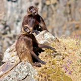 Geladas Getting Cross