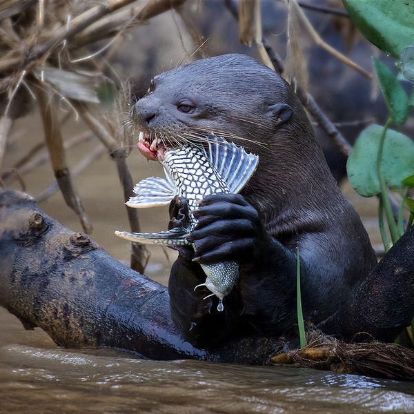 GIANT OTTER EATING CATFISH: Grand Canyon Winter Circuit, 2020