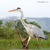 Grey Heron and Kingfisher Passing