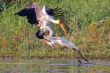HERON ATTACKING EGRET