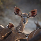 INQUISITIVE KUDU