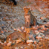 LEOPARD CUBS AT SUNSET