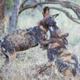 Painted Dogs Fighting