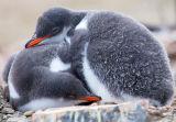 Penguin Chick Mates