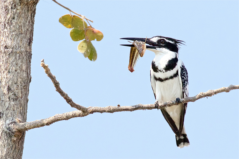 PIED KINGFISHER WITH CATCH: Olympic Greece, 2019
