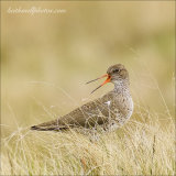 Redshank Defending Her Nest