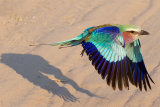 ROLLER TAKING FLIGHT