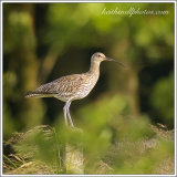 Summer Curlew