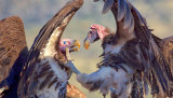 Vulture Confrontation