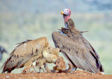 Vultures Breakfast