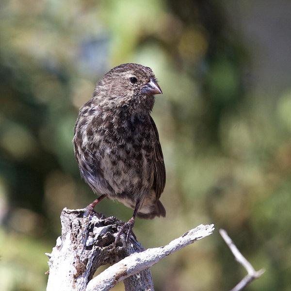 Wood Finch