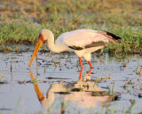YELLOW-BILLED HERON FISHING