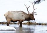 Elk Drinking