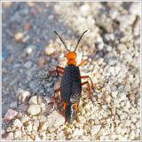Mojave Desert Beetle