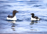 Guillemot and Fledgling