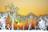 Acacia sunset solarised