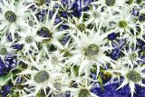 White Spikes - solarised