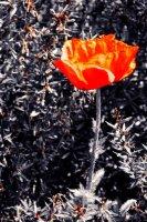 Orange poppy pastel