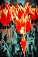 Orange turquoise tulip