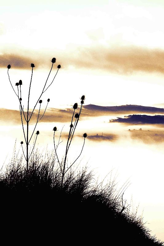 Thistles on the hill 4
