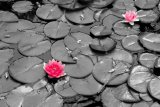 Two pink water lilies