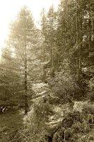 Winter woodland Sepia