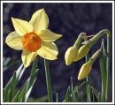 """""""Daffodil Time"""""""