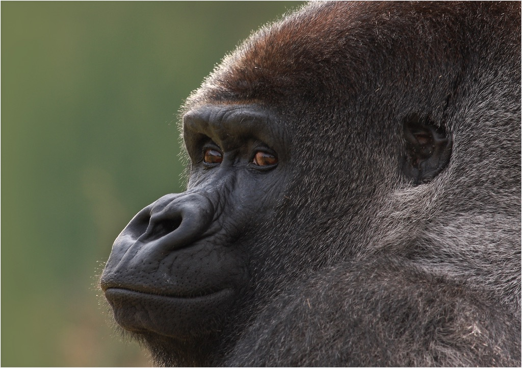 Lowland Mountain Gorilla