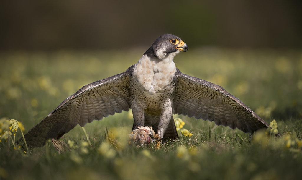 Mantling Peregrine Falcon