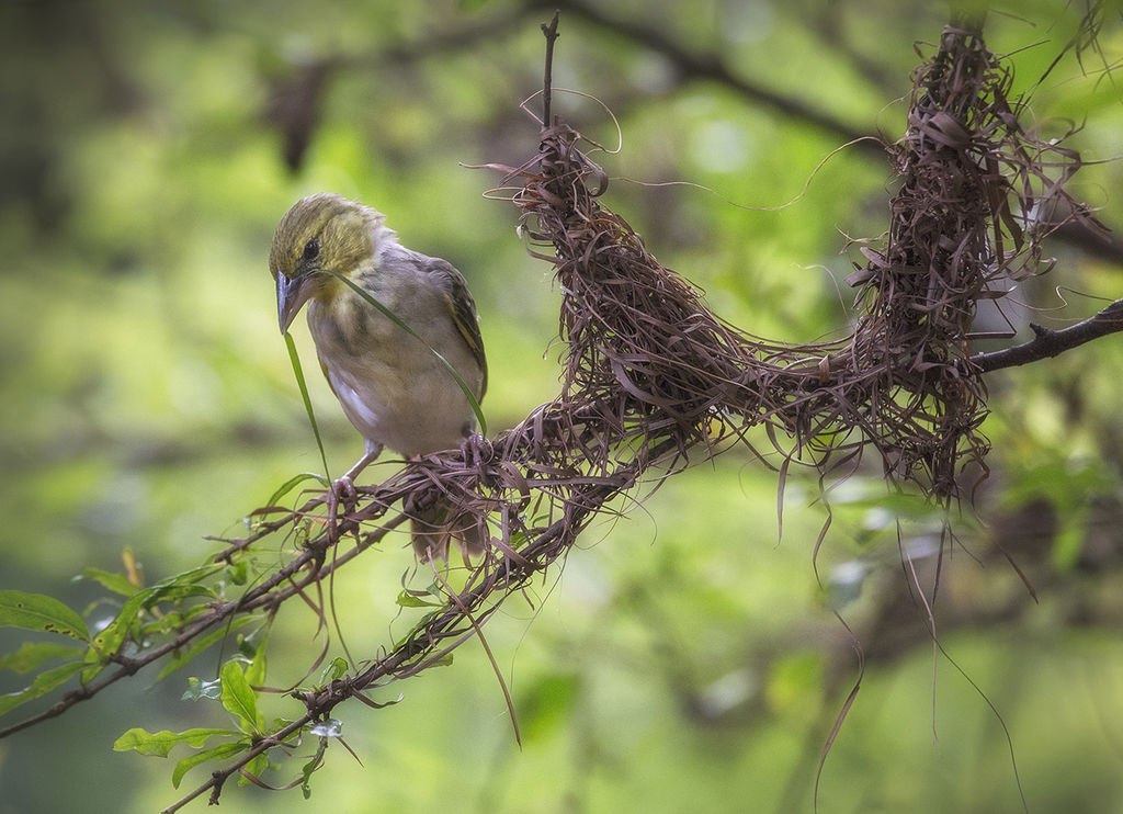 Weaver Bird Nest Building