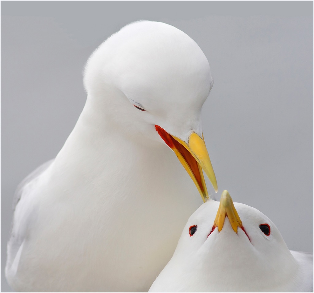 Kittiwake Courtship