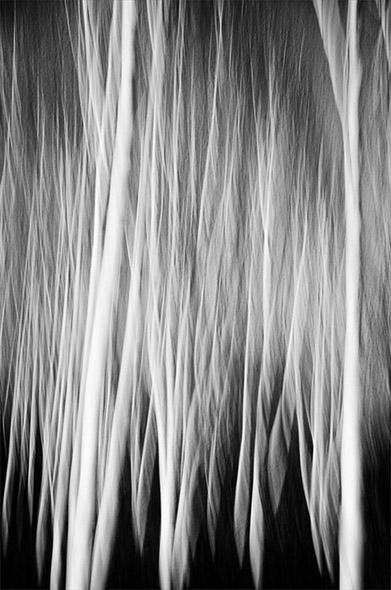 Silver Birch Trees
